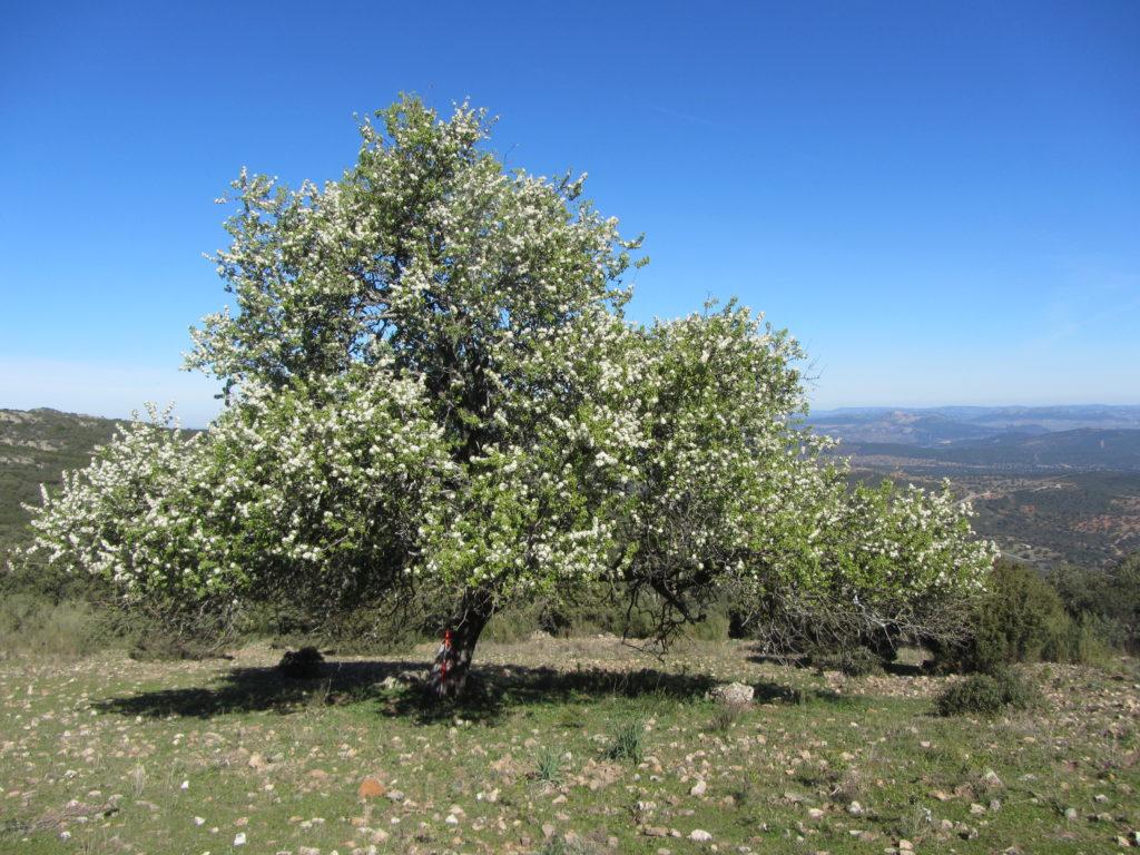 FOTO Piruétano del Castillo de Miramontes. Ruta de la Sierra de Santa Eufemia
